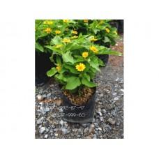 ต้นกระดุมทอง ต้นดอกกระดุมทอง (ใบสีเขียวอ่อนมีขน)สำหรับจัดสวน