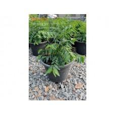ต้นผักหวานบ้าน (มะยมป่า)ในกระถาง