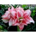 จำหน่ายหัวดอกไม้หลากสายพันธุ์